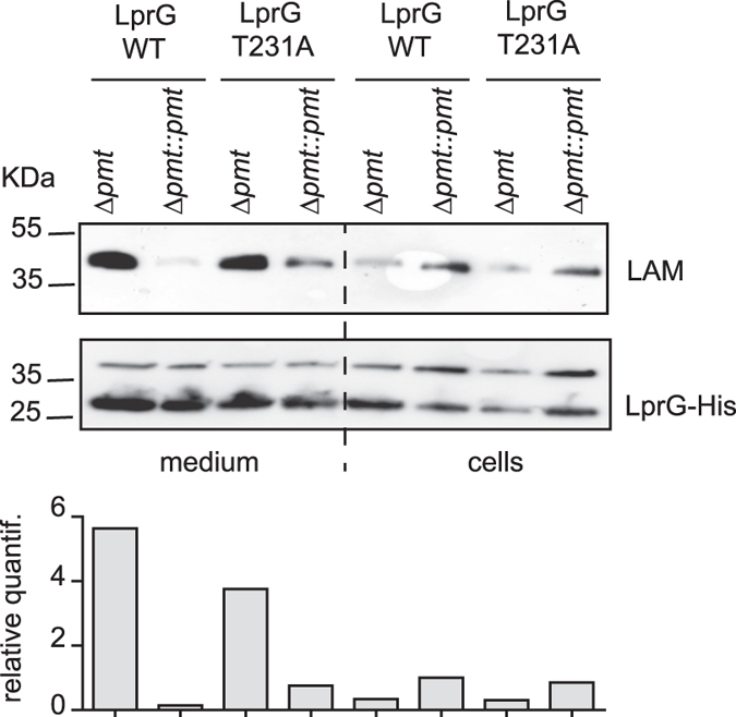 Impact of LprG O -mannosylation on the release of the LprG/LAM complex in M . smegmatis . Similar amounts of LprG-His or LprG-His T231A purified from either culture medium or bacterial cells were separated by SDS-PAGE, transferred onto membranes and revealed using anti-LAM or anti-His antibodies. The genetic backgrounds in which the protein was produced are indicated. The upper band revealed by the anti-His antibody is a non-specific cross-reacting protein. The signal intensity for LAM was quantified and plotted in the graph below the Western blot image. This blot is representative of three independent experiments.