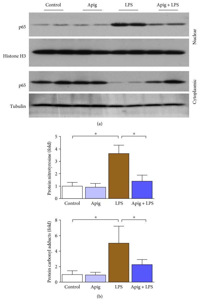 Apigenin attenuates LPS-induced cardiac NF κ B nuclear translocation and oxidative damage. (a) Western blot analyses of NF κ B (p65) in nuclear and cytoplasmic fractions from heart lysates. Histone H3 was used as a nuclear control whereas tubulin was used as a cytoplasmic control. (b) Cardiac oxidative markers protein nitration and carbonyl content measured by quantitative ELISA. All markers were significantly increased in LPS-treated mice. Apigenin significantly reduced LPS-induced oxidative stress markers. Values represented as means ± SD; ∗ P