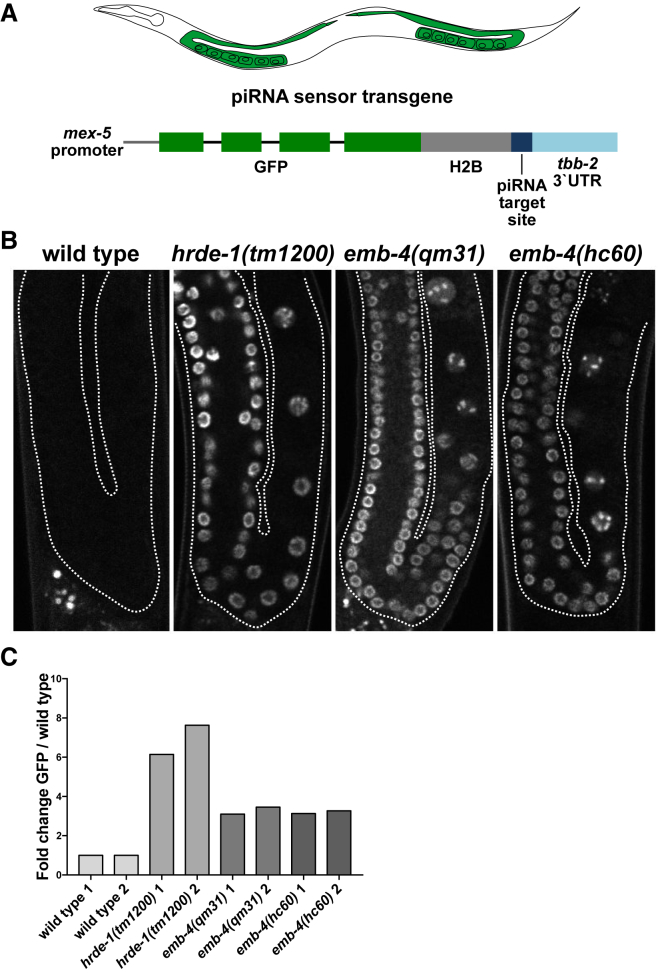Aquarius/EMB-4 Is Required for the piRNA-Mediated Silencing of a Sensor Transgene (A) piRNA sensor transgene and its expression pattern in C. elegans germline. (B) Fluorescent microscope images of wild-type and mutant animal germlines with an integrated single-copy piRNA sensor transgene (germline boundaries are marked by white dotted lines). (C) qRT-PCR analysis of GFP expression in animals described in Figure 3 B (two biological replicates with at least two technical replicates). See also Figure S3 .
