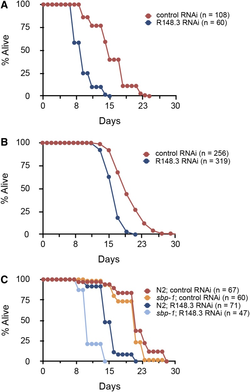 Loss of R148.3 shortens lifespan. Representative population survival curve of (A and B) N2 worms, or (C) sbp-1 mutants fed either empty L4440 vector (control RNAi) or R148.3 RNAi. RNAi was initiated at either (A and C) stage L1 or at (B) stage L4/young adult. For all panels, P
