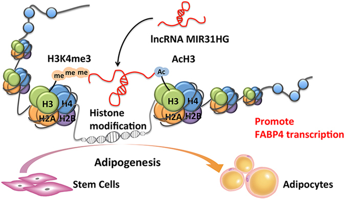 Schematics showing the regulation of adipogenesis by MIR31HG . MIR31HG promoted adipogenic differentiation of stem cells. In mechanism, MIR31HG contributed to histone H3 lysine 4 trimethylation and H3 acetylation at the FABP4 gene locus and promoted its transcription, leading to the promotion of adipogenesis.