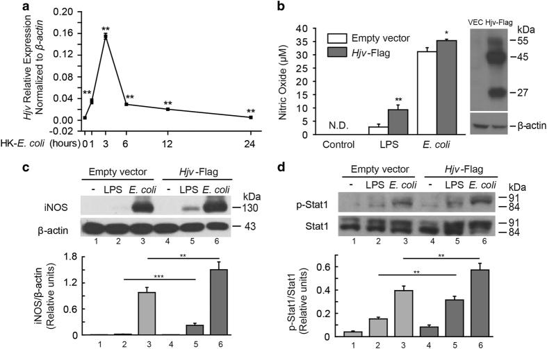 Hjv expression is upregulated in macrophages following stimulation with heat-killed E. coli , and Hjv expression facilitates iNOS signaling in vitro . ( a ) Hjv mRNA was measured in macrophages 0, 1, 3, 6, 12 and 24 h after stimulation with heat-killed E. coli (10 8 CFU) and is expressed normalized to β-actin mRNA, ** P