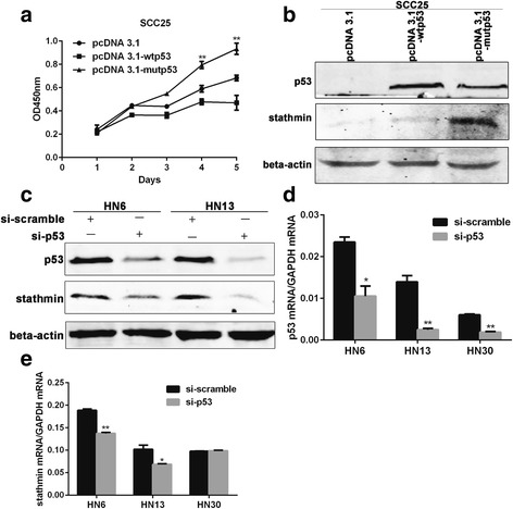 Mutant p53 promoted the expression of stathmin. After wtp53, mutp53 (R175H, G245C and R282W) plasmids and vectors were transfected into SCC25 cells, cells transfected with mutp53 grew more aggressively than those with wtp53 ( a ). In SCC25 cells transfected with pcDNA3.1 vector, pcDNA3.1-wtp53 and pcDNA3.1-mutp53 for 48 h, upregulation of stathmin was found in cells transfected with mutp53 but not wtp53 ( b ). Decreased stathmin expression was found accompanied by p53 knockdown for 48 h in two mutant p53 cell lines, HN6 (H179L) and HN13 (V173 L) ( c ). Decreased stathmin mRNA levels were found accompanied by knockdown of p53 for 48 h in HN6 and HN13 cells but not wtp53 HN30 cells ( d , e ). **: P