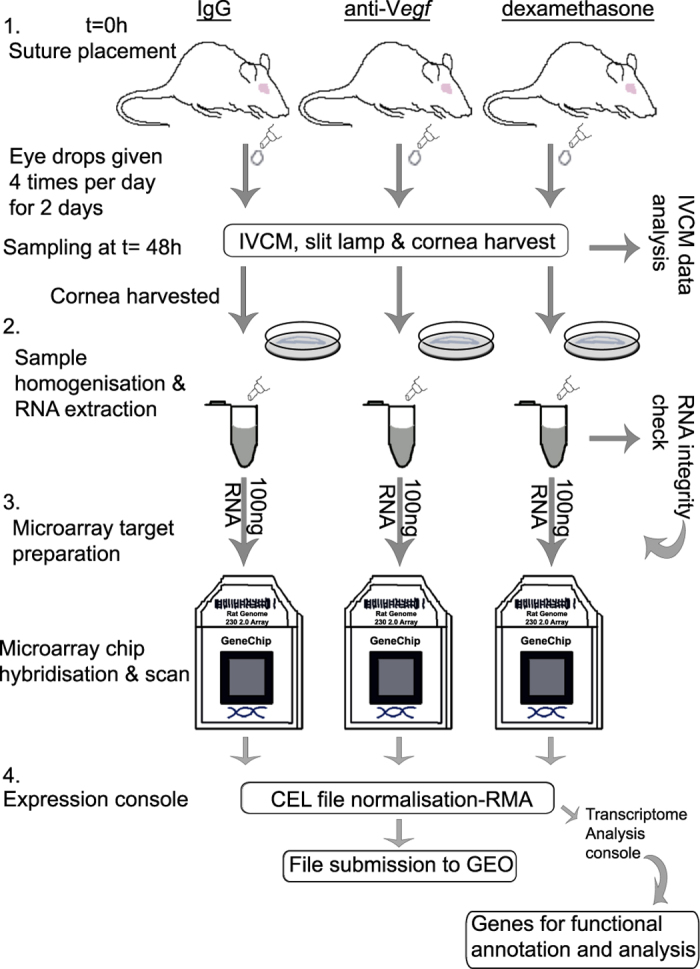 Schematic illustration of the experimental procedure that was followed. (1) sutures were placed intrastromally into the temporal cornea, and immediately followed by topical application of eye drops (IgG, anti- <t>Vegf</t> or dexamethasone). Eye drops were applied until the 48 h time point. At t=48 h, IVCM and slit lamp data was collected and used for phenotypic characterisation. (2) cornea tissue was harvested and used for RNA extraction, and RNA quality verified. (3) high quality RNA was used for target preparation for microarray hybridisation on to GeneChip Rat 230 2.0 microarray chips. The microarray chips were scanned and image files acquired. (4) CEL files were normalised using expression console software. The generated CHP together with the CEL files were submitted to Gene Expression Omnibus repository.
