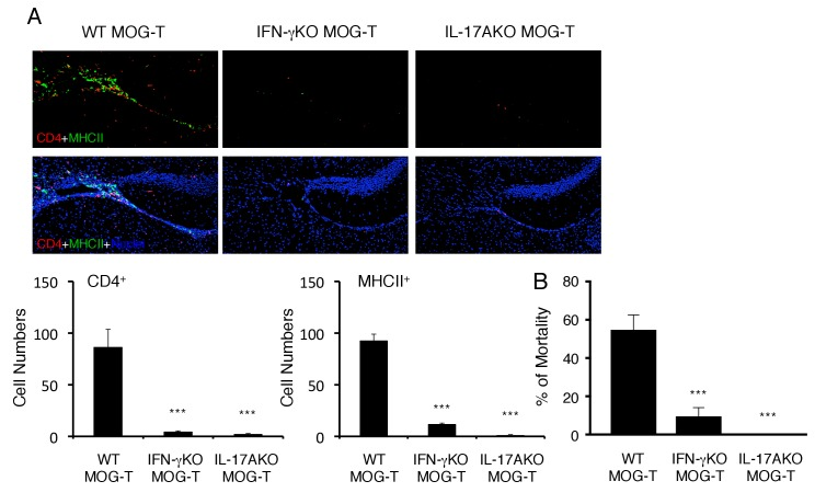 Pathogenic CD4+ T cells derived from IL-17A deficient or IFN-γ deficient mice inhibited the severe phenotypes. ( A ) Immunohistochemical staining for CD4 and MHC class II at specific vessels of the boundary area of the third ventricle region, thalamus, and dentate gyrus of mice with IL-17A deficient or IFN-γ deficient pathogenic CD4+ T cell transfer under stress condition (n = 3–5 per group). (right) Quantification of the histological analysis. Number of cells per picture (10x). ( B ) Percentages of mortality of mice with IL-17A deficient or IFN-γ deficient pathogenic CD4+ T cell transfer under stress condition (n = 3–5 per group). Mean scores ± SEM are shown. Statistical significance was determined by ANOVA tests. Statistical significance is denoted by asterisks (***p