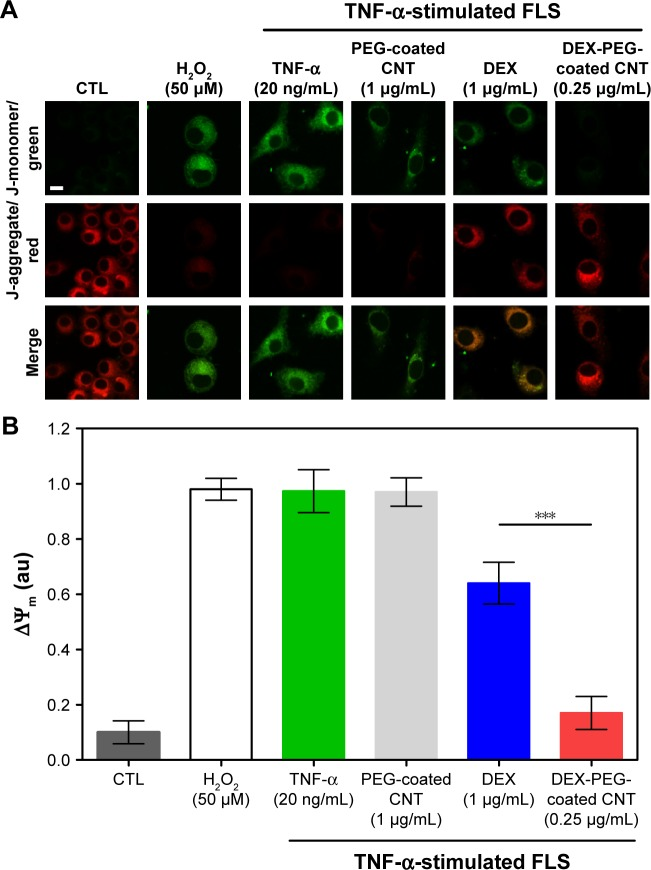 Effect of DEX-PEG-coated CNT on mitochondrial membrane disruption in TNF-α-stimulated FLS. Notes: ( A , B ) JC-1 staining showed depolarized mitochondria (green, J-monomer) and polarized mitochondria (red, J-aggregate) membrane potentials after 24 h. H 2 O 2 (50 μM) was used as a positive control. Scale bar: 20 μm. PEG-coated CNT (1 μg/mL) showed no significant changes in the greater level of mitochondrial membrane disruption (green). DEX-PEG-coated CNT inhibited mitochondrial membrane disruption at low doses (0.25 μg/mL) compared to DEX (1 μg/mL) in TNF-α-stimulated FLS. All data represent mean ± SEM (n=6). *** P