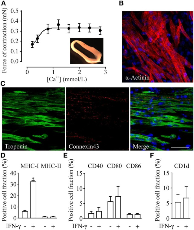 Functional, morphological and immunological properties of parthenogenetic stem cell (pSC)-derived engineered heart muscle (EHM). (A) Contractile function of pSC-derived EHM (inset, bar graph: 500 µm) under increasing extracellular [Ca2+] ( n = 7). (B,C) Immunofluorescence stainings of whole mount EHMs. Immunolabeled structures are indicated in the respective panels. DNA (in blue) was labeled with Hoechst. Scale bars: 20 µm. (D–F) . FACS-analysis of cells derived from pSC-EHM for major histocompatibility complex (MHC) class I and MHC class II molecules (D) , for costimulatory molecules CD40, CD80, CD86 (E) , and for CD1d (F) with and without IFN-γ stimulation. * p