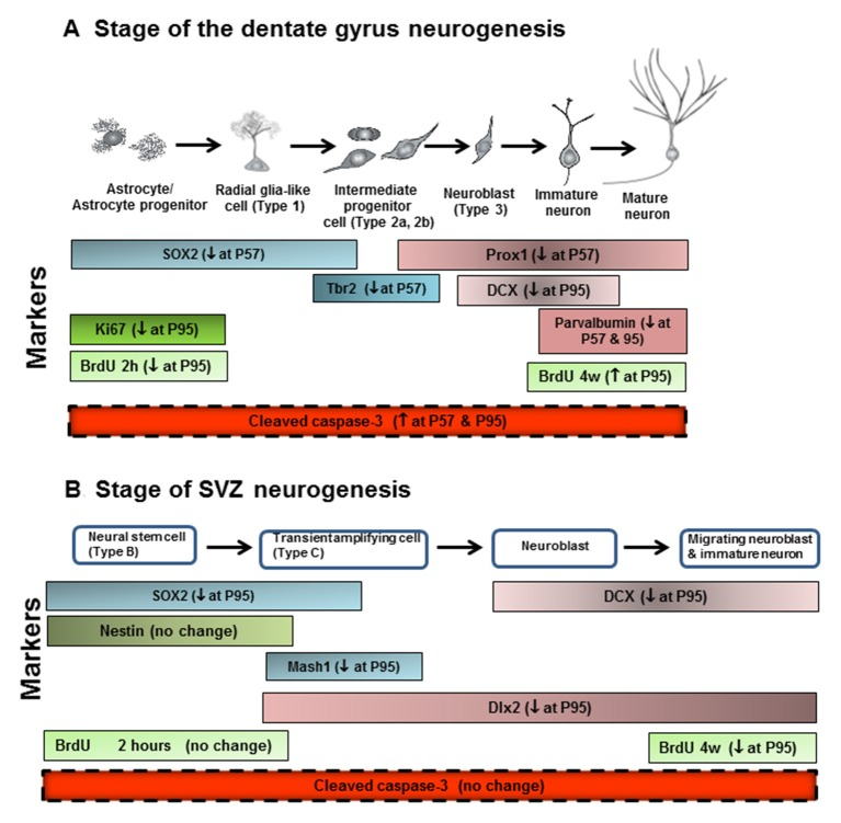 Neurogenesis stages in the DG of the adult hippocampus and SVZ of lateral ventricle. (A) Schematic diagram representing the progression of neuronal development (Bonaguidi et al., 2012 ), and specific markers in the different developmental stages of the adult DG, such SOX2, Tbr2, Prox1, DCX and PV. Ki67 protein is present during all active phases of the cell cycle (G 1 , S, G 2 , and mitosis), but is absent from resting cells (G 0 ). Bromodeoxyuridine (BrdU), used in the detection of proliferating cells in living tissues as exogenous marker, is incorporated into the newly synthesized DNA of replicating cells (during the S phase of the cell cycle). For the proliferation study, animals were sacrificed 2 h after injecting BrdU with 300 mg/kg (i.p.). For the survival study, animals were sacrificed 4 weeks after injecting BrdU with 150 mg/kg (i.p.) for 14 days. (B) Schematic diagram representing the progression of neuronal development, and specific markers in the different developmental stages of the adult SVZ, such as SOX2, nestin, Mash1, DCX and Dlx2. ↓ at P57, decreased at postnatal day 57; ↓ at P95, decreased at postnatal day 95; ↑ at P57, increased at postnatal days 57; ↑ at P95, increased at postnatal days 95.