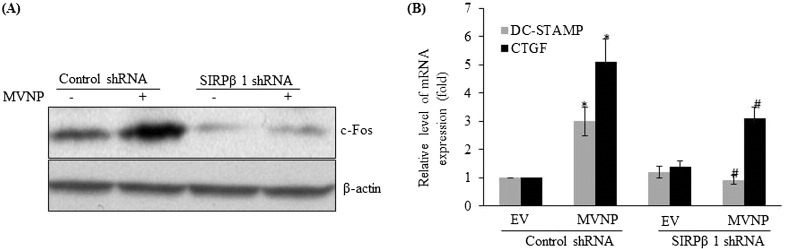 SIRPβ1 participation in MVNP regulated gene expression during OCL differentiation. (A) shRNA suppression of SIRPβ1 inhibits MVNP enhanced c-Fos expression. Normal human bone marrow derived mononuclear cells were transduced with MVNP in the presence and absence of SIRPβ1 shRNA or control shRNA and stimulated with M-CSF (10 ng/ml) and RANKL (100 ng/ml) for 48 h. Total cell lysates were subjected to western blot analysis for c-Fos expression. (B) SIRPβ1 shRNA suppression decreases DC-STAMP and CTGF mRNA expression. Human bone marrow derived mononuclear cells were transduced with EV or MVNP in the presence of control or SIRPβ1 shRNA and cultured for 48 h with RANKL and M-CSF. Total RNA isolated from these cells was subjected to real-time RT-PCR analysis for DC-STAMP and CTGF mRNA expression. The level of mRNA expression was normalized with GAPDH amplification. The values are expressed as mean ± SD for three independent experiments (p