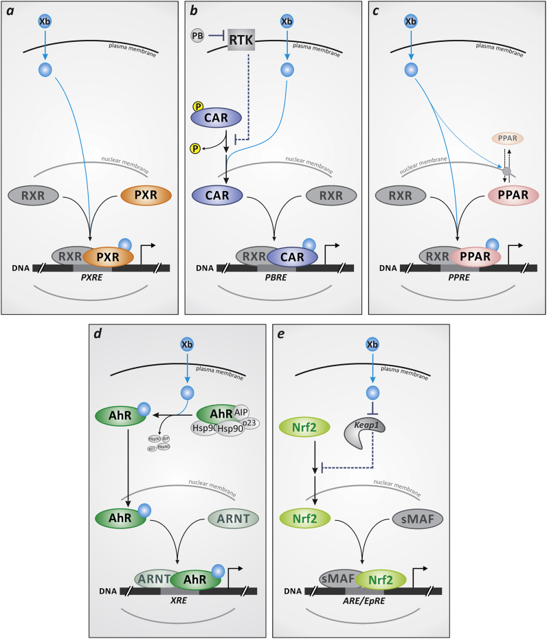 Xenosensor activation by xenobiotics (Xb): simplified schematic representation. ( a,b ) Human pregnane X receptor (PXR) as well as retinoid X receptor (RXR) alpha appear to occur predominantly in the nucleus in unstimulated cultured human cells [66] , [67] , whereas constitutive androstane receptor (CAR) occurs mostly cytosolic [67] . Upon stimulation by exposure to xenobiotics (i.e. upon ligand binding), both PXR and CAR stimulate the expression of target genes by binding to their respective response elements (PXRE, PBRE) as heterodimers with RXRα. Nuclear translocation of CAR is regulated by its (de)phosphorylation: protein kinase C-dependent phosphorylation induces its cytoplasmic retention [68] , which is further supported by receptor tyrosine kinase (RTK)-dependent effects. For example, epidermal growth factor (EGF) induces, via activation of ERK, the formation of a CAR homodimer which prevents CAR dephosphorylation and thus helps retain it in the cytoplasm [69] . CAR ligands bind to the monomer, and by shifting the dimer/monomer equilibrium accordingly support CAR dephosphorylation, followed by nuclear translocation [69] . Another type of CAR activator, phenobarbital (PB) stimulates CAR indirectly, e.g. by interfering with RTK signaling: both EGF and insulin binding to their cognate receptors are attenuated in the presence of PB [30] , [31] , thus counteracting the CAR inactivation elicited by EGF or insulin. ( c ) Like PXR and CAR, peroxisome proliferator-activated receptors (PPARs) form heterodimers with RXR. RXR/PPAR heterodimers bind to PPRE (peroxisome proliferator response element) sites to stimulate transcription of target genes. Although PPARs were described as predominantly residing in the nucleus, certain stimuli were reported to elicit nuclear exclusion [70] . Moreover, nucleocytoplasmic shuttling and subcellular localization of PPARs was shown to be affected by PPAR ligands [36] . ( d ) Aryl hydrocarbon receptor (AhR) is retained in the cytoplasm i