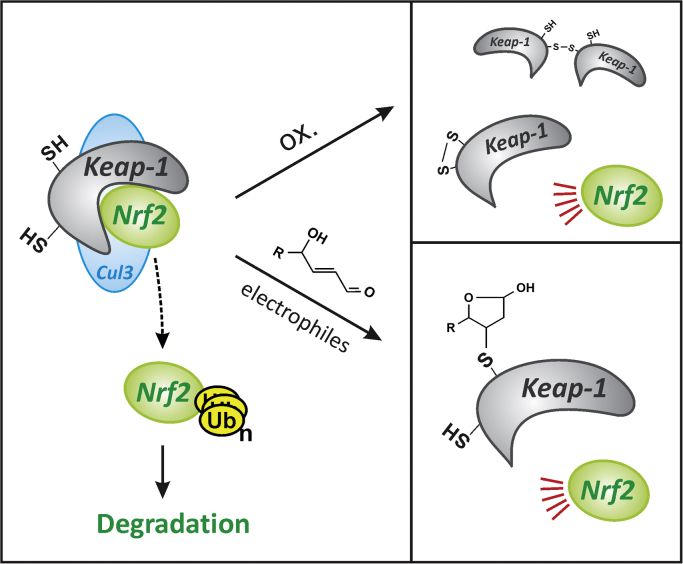 Nrf2 activation by xenobiotics. Xenobiotics may stimulate the transcriptional activity of Nrf2 through the generation of ROS or via the formation of electrophiles. Nrf2 is controlled by binding to Keap-1, which bridges Nrf2 and Cullin-3 (Cul3), a ubiquitin ligase, thus initiating proteasomal degradation of Nrf2 and preventing its nuclear translocation. Oxidation of Keap-1 (upper right panel) by ROS may induce disulfide formation (both intra- and intermolecular) [71] , causing the release of Nrf2 from the complex, triggering Nrf2 nuclear translocation and transcriptional activation of target genes. Electrophiles may form adducts with Keap-1 through cysteine residues to elicit Nrf2 release and activation (lower right panel). The figure shows the adduct of Keap-1 generated upon reaction with the lipid peroxidation product, 4-hydroxynonenal (HNE) [72] ; different electrophiles may react with different Keap-1 cysteines, as was demonstrated for compounds such as diethyl maleate and HNE [73] , [74] .