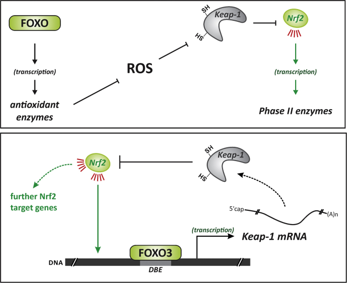 Links between <t>Nrf2</t> and FOXOs. Upper panel: reactive oxygen species (ROS), e.g. by interacting with <t>Keap-1,</t> trigger Nrf2 activation. As FOXO proteins control the expression of genes coding for antioxidant proteins, the activation of FOXO may, by blunting surges in levels of ROS, ameliorate the activity of Nrf2. Lower panel: FOXO3 was shown to also attenuate Nrf2 activity by transcriptionally upregulating the biosynthesis of Keap-1 [52] , which will bind and control Nrf2.