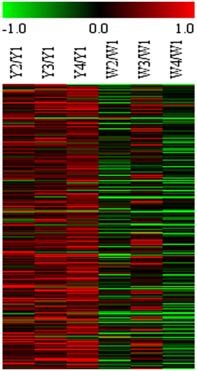 Microarray expression abundance of differential genes at different flower stages in Y and W line. HCL cluster of genes was performed. The color key was set from –1 to +1. The data were retrieved from the safflower microarray data set (unpublished).