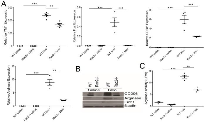 Rac2 is required for enhanced alternative activation of the macrophage phenotype after bleomycin-induced pulmonary fibrosis. (A B) WT and Rac2-/- mice were given an i.t. challenge with bleomycin and alveolar macrophages were isolated from BALs on day 28 (n = 8–10 mice/group). All the BAL samples/group were pooled to isolate alveolar macrophages and were used for mRNA expression or Western blot or arginase activity. The expression of alternatively activated markers YM1, Fizz1, CD206 and Arginase in alveolar macrophages were analyzed by real-time RT-PCR (A) or Western blot (B). (C) Arginase activity was measured in alveolar macrophages isolated from BALs from bleomycin instilled WT and Rac2-/- mice on day 28 as described in Methods. Graphs in A and C represent mean ± SEM with n = 4. One-way ANOVA with post-hoc Tukey's multiple comparison tests, **p ≤ 0.01 and ***p ≤ 0.001 when WT bleomycin treated group was compared to saline treated groups or the Rac2-/- bleomycin treated group. Experiment was repeated twice with similar results.
