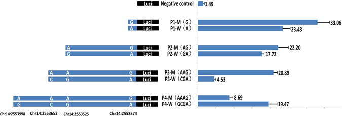 Promoter activity analysis of the bovine GPIHBP1 gene. There are four completely linked SNPs in the promoter region of GPIHBP1 . As shown, fragments P1, P2, P3, and P4 contain one, two, three, and four SNPs sites, respectively. We constructed eight types of recombinant promoter vectors with respect to the four fragments and the mutant and wild-type haplotypes. Promoter activities were detected using a dual-luciferase reporter system. The data are expressed as the means and standard errors of three replicates.