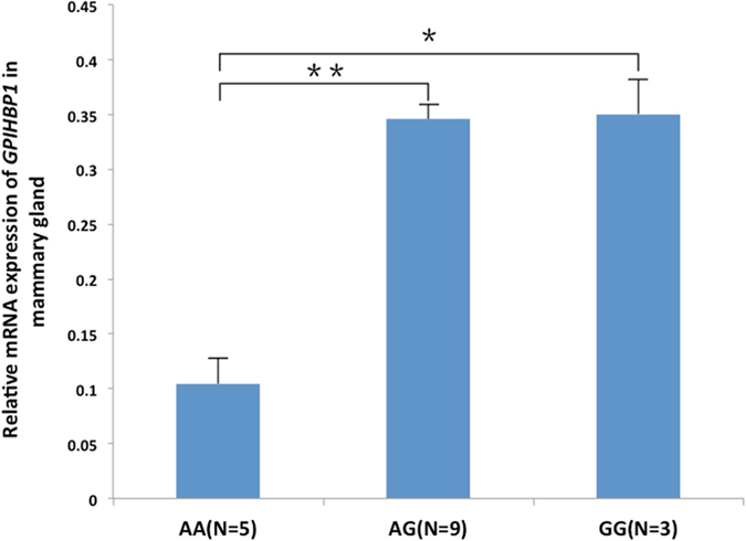 Expression of GPIHBP1 in the mammary gland of cows with genotypes AA, GG, and GA.