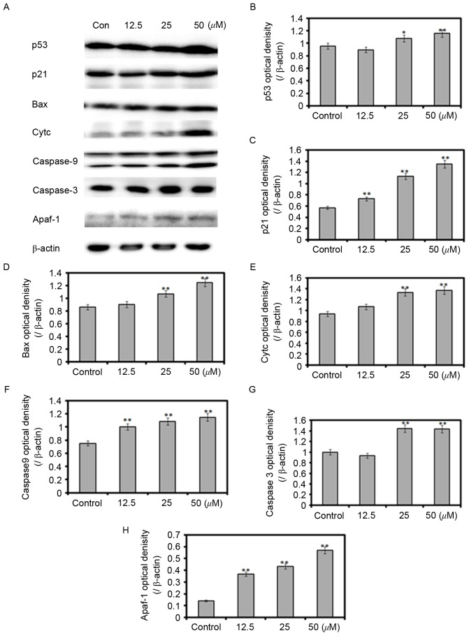 Effect of Zanthoxylum bungeanum on p53-associated proteins. SW620 cells were exposed to 12.5, 25 and 50 µM hyperoside for 48 h. (A) Protein expression of p53-associated proteins. Quantification of (B) p53, (C) p21, (D) Bax, (E) Cytc, (F) caspase-9, (G) caspase-3 and (H) Apaf-1. *P