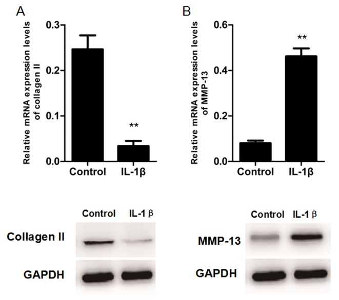 Regulation of type II collagen and MMP-13 by <t>IL-1β</t> in rat chondrocytes. (A) Reverse transcription-quantitative polymerase chain reaction and (B) western blot analyses demonstrating that IL-1β stimulation decreases type II collagen and increases MMP-13 mRNA and protein expression levels. GAPDH served as an internal control. Data are presented as the mean ± standard deviation. **P