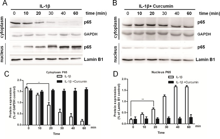 Curcumin inhibits IL-1β-induced nuclear translocation of nuclear factor-κB subunit p65/RelA. Western blot analysis of p65/RelA protein expression levels in chondrocytes treated with either (A) IL-1β alone or (B) IL-1β and curcumin for various durations. Quantification of (C) cytoplasmic and (D) nuclear p65/RelA protein expression levels. GAPDH and lamin B1 served as internal controls. Data are presented as the mean ± standard deviation; **P
