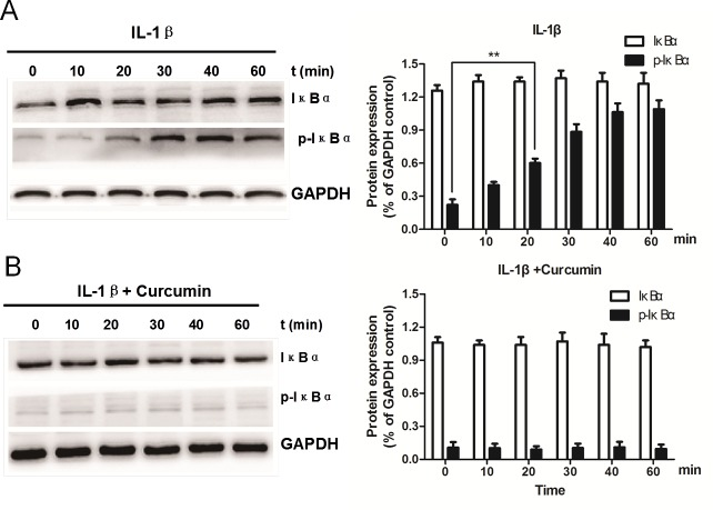 Curcumin inhibits IL-1β-induced IκBα phosphorylation in rat chondrocytes. Western blot analysis and quantification of IκBα and p-IκBα protein expression levels following treatment with either (A) IL-1β alone or (B) IL-1β and curcumin for various durations. GAPDH served as an internal control. Data are presented as the mean ± standard deviation; **P