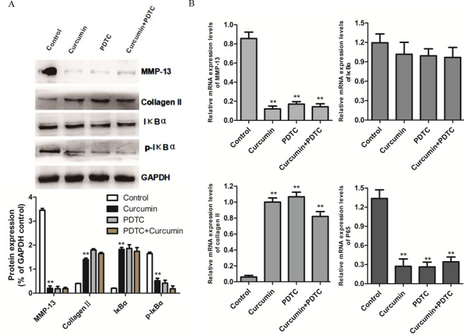 Effect of curcumin and PDTC on protein and mRNA expression levels in interleukin-1β-treated chondrocytes. (A) Western blot analysis of MMP-13, type II collagen, IκBα and p-IκBα protein expression levels. GAPDH served as an internal control. (B) Quantification of MMP-13, type II collagen, IκBα and NF-κB subunit p65/RelA mRNA expression levels, as assessed by reverse transcription-quantitative polymerase chain reaction analysis. Data are presented as the mean ± standard deviation; **P