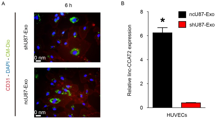 ncU87-Exo and shU87-Exo are internalized by HUVECs. (A) Immunofluorescence images of DAPI (blue)-CD31 (red) HBMECs co-cultured with CM-Dio (green) labeled ncU87-Exo and shU87-Exo at 6 h. (B) <t>qRT-PCR</t> was applied to determine linc-CCAT2 expression levels in HUVECs when incubated with 100 µg/ml ncU87-Exo and shU87-Exo for 24 h; the linc-CCAT2 expression level in ncU87-Exo-treated HUVECs was significantly higher than that in the shU87-Exo-treated HUVECs (*P
