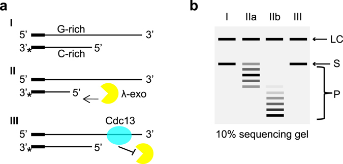 ( a ) Schematic illustration of the 5′ DNA end protection assay (DEPA). DNA oligonucleotides are annealed to form model telomeres with a double stranded part and a single stranded 3′ overhang (I). All oligonucleotides contain a short non-telomeric guide sequence to ensure efficient annealing while the telomere part is varied to create different length overhangs and different 5′ permutations. λ-exonuclease selectively cleaves the 5′ phosphorylated end (II) of the shorter C-strand oligonucleotide which is 3′ end labelled (*). The reaction progresses in the 5′ → 3′ direction (II). To assay for 5′ end protection, Cdc13 is pre-bound to the telomere end before adding λ-exonuclease to the reaction, which will inhibit the exonuclease (III). ( b ) Schematic illustration of the assay read out. Reactions are stopped at different incubation times, de-proteinized, ethanol precipitated and run on a 10% denaturing polyacrylamide sequencing gel. A labelled oligonucleotide loading control (LC) is added before ethanol precipitation which migrates above the 3′ labelled C-strand substrate (S) on the gel. As the exonuclease reaction progresses, products of decreasing size (P) appears on the gel while the uncleaved substrate (S) diminishes. Lane I, no enzyme control (0 s); lane IIa, shorter incubation time; lane IIb, longer incubation time; lane III, a reaction where the substrate was pre-incubated with Cdc13 which gave full protection.