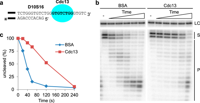 "Cdc13 protects the telomere 5′ end when bound 3 nt away from the ds-ss junction. ( a ) D10S16 contains 10 bp of telomere dsDNA and a 16 nt ssDNA 3′ overhang. The Cdc13 MBS (bold text) is located 3 nt from the ds-ss junction. The black bar represents the 14 bp guide sequence (5′-GTCACACGTCACAC-3′) used for ensuring proper annealing. ""*"" Indicates the radioactive label at the 3′ end of the C-strand, used for detecting the substrate and its degradation products. ( b ) Sequencing gel with the 5′DEPA reaction products. D10S16 was either pre-bound by Cdc13 or incubated with non-DNA binding BSA protein. An aliquot was taken out before addition of λ-exonuclease (-), then λ-exonuclease was added and aliquots of the reactions were stopped at different time points (20; 40; 60; 120; 240 s). ( c ) Graph showing the quantification of the gel shown in ( b ). The amount of uncleaved substrate (S) relative the reaction start point was calculated by measuring the volume of the upper two uncleaved substrate bands normalized to the volume of the loading control band (LC). Reaction products are denoted next to the gel (P). The uncropped gel is presented in Supplementary Fig. S2 ."