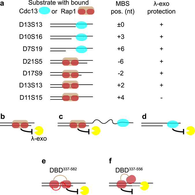 "Schematic figure summarizing the results of this work and how it is proposed to relate to different in vivo situations. ( a ) Shows the different substrate tested with Cdc13 or Rap1 pre-bound at their respective MBS at various distances relative the ds-ss junction. "" + "" indicates protection, while ""−'' indicates no protection. ( b ) Protection by Rap1 when the 3′ overhang is very short and unable to accommodate Cdc13 binding. ( c ) Protection by Rap1 in a hypothetical situation where Cdc13 is bound very far away from the ds-ss junction (longer than tested here). ( d ) Protection may be provided by Cdc13 alone when the 3′ overhang accommodates its binding. ( e ) The wild type Rap1 DBD 337–582 is firmly attached to its MBS, and fully protects the 5′ end from degradation by λ-exonuclease. ( f ) The Rap1 wrapping loop mutant DBD 337–556 is only partly attached to the MBS, leaving the 5′ end accessible to λ-exonuclease, which cleaves off the first 3 nt of DNA before being halted at a site where the mutant DBD is more firmly attached."