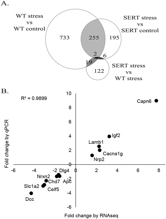 Maternal genotype and prenatal stress affect the <t>transcriptome</t> of developing embryos. ( A ) Venn diagram showing overlap between differentially expressed genes (DEGs) in wild-type (WT) and maternal Slc6a4 +/− (SERT) embryos in response to stress. ( B ) Validation of subset of DEGs identified by RNA-seq using qPCR correlated with fold change from RNA-seq data (Pearson R = 0.995, p