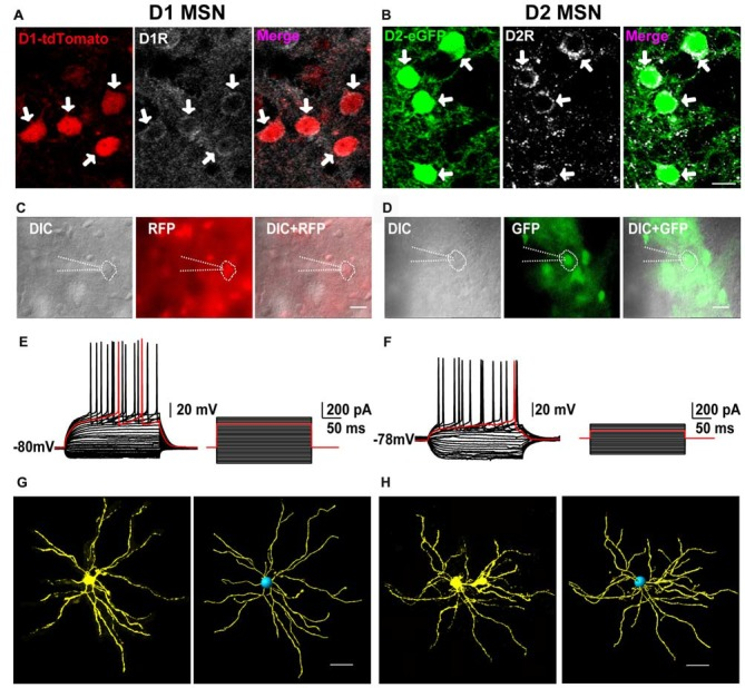 The receptors' expression, neural firing pattern and dendritic branches of D1-tdTomato and D2-enhanced fluorescent protein (eGFP) positive neurons in the striatum. (A) D1 receptor and D1-tdTomato signal were co-expressed in the striatal medium-sized spiny neurons (MSNs). (B) D2 receptor and D2-eGFP signal were co-expressed in the MSNs. Scale bar = 10 μm. (C) A D1-tdTomato positive neuron was recorded by patch clamp pipette in differential interference contrast (DIC) image mode. Scale bar = 20 μm. (D) A D2-eGFP positive neuron was recorded by patch clamp pipette in DIC image mode. Scale bar = 20 μm. (E) The same neuron from (C) showed typical delay firing pattern in current clamp mode. (F) The same neuron from (D) also showed typical delay firing pattern and smaller rheobase comparing with the cell in (E) in current clamp mode. (G) Cell filling with <t>neurobiotin</t> 350 and 3D reconstruction outlined the dendritic branches of a D1-tdTomato positive neuron. Scale bar = 40 μm. (H) Cell filling with neurobiotin 350 and 3D reconstruction outlined the dendritic branches of a D2-eGFP positive neuron. Scale bar = 40 μm.