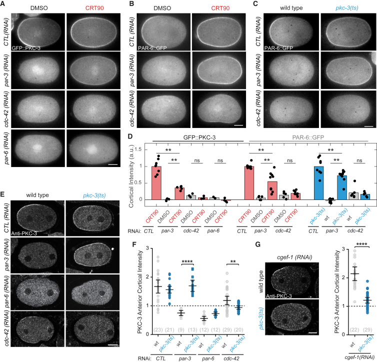 PKC-3 Inhibition Promotes PAR-3-Independent Formation of CDC-42-Dependent PAR-6/PKC-3 Assemblies (A–C) Representative midsection confocal images of live embryos at maintenance phase showing GFP::PKC-3 (A) or PAR-6::GFP (B and C) of DMSO, CRT90-treated, and pkc-3 ( ts ) zygotes subject to RNAi as indicated. (D) Quantification of rescue for datasets represented in (A) to (C), normalized to membrane signal in control RNAi and CRT90-treated/ pkc-3 ( ts ) zygotes for each dataset. (E) Representative midsection confocal images of wild-type and pkc-3 ( ts ) zygotes during polarity establishment subject to RNAi as indicated and immunostained for PKC-3. (F) Quantification of rescue as measured by anterior domain cortical intensity of PKC-3 for datasets represented in (E). For each zygote, anterior PKC-3 cortical intensity is divided by cytoplasmic intensity. Values greater than 1 indicate presence at the membrane. Mean ± 95% confidence interval (CI) (N) is shown. See STAR Methods for further details. (G) Representative midsection confocal images during polarity establishment of wild-type and pkc-3 ( ts ) embryos upon cgef-1 ( RNAi ), stained for PKC-3. Scatterplot representing the anterior domain cortical intensity of PKC-3 as in (F) in cgef-1 ( RNAi ) and pkc-3 ( ts ); cgef-1 ( RNAi ). Mean ± 95% CI (N) is shown. ∗∗ p