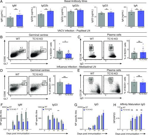 Impaired B cell responses in TC10 KO animals. ( A ) Serum was collected from naive WT and TC10 KO animals, and baseline titers of IgM, IgG2b, IgG2c, IgG3, and IgA were measured by sandwich ELISA. ( B – E ) WT and TC10 KO animals were infected with 10 4 PFU VACV (B and C) or 2.10 2 Influenza virus (D and E) by intra footpad (B and C) or intranasal injection (D and E), and the draining popliteal (B and C) or mediastinal (D and E) LNs were isolated 7 (B and C) or 9 (D and E) d later. Germinal center B cells (CD95 + GL-7 + (B and D) and plasma cells [CD138 + IgD lo (C and E)] were analyzed by flow cytometry. Quantifications are shown on the panels on the right and show the percentage of B cells in the indicated gates. ( F and G ) WT and TC10 KO mice were immunized with NP-KLH precipitated in Alum, and serum samples collected weekly for 28 d. NP-specific IgM and IgG3 (F) titers were measured, as well as total IgG titers (G). ( H ) ELISA analysis showing affinity maturation (expressed as the ratio of NP3 to NP23 titers) of total IgG in WT and TC10 KO animals. Data are from one representative of two to three independent experiments with at least three animals in each group. Student t test (ns: p > 0.05, * p