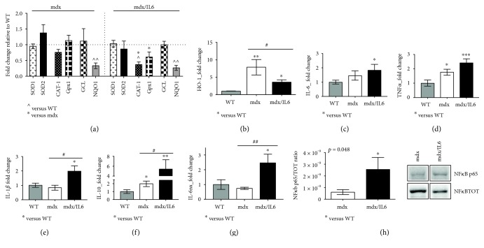 Nrf2 antioxidant genes are differently regulated in the prenecrotic dystrophic muscle. (a) Real-time PCR analysis of Nrf2-dependent genes (SOD1, SOD2, CAT-1, Gpx1, GCL, and NQO1) performed on the diaphragm muscle of 2-week-old WT, mdx, and mdx/IL6 mice. Values are reported as fold change in expression relative to the calibrator (WT, horizontal dot line) and represent mean ± SEM; n = 3 to 5 per group. p value by unpaired statistical tests. ^ p
