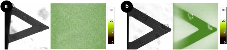 Localization of α -syn species. Optical and fluorescence images of M17 cells on a cantilever sensor exposed for 2 h to OG-tagged α -syn monomeric ( a ) and fibrillar ( b ) forms. The fibrils are clearly localized on the cell surface while the monomers do not appear to localize on the cells. (The nanomotion response is shown in Supplementary Figure S6 ).