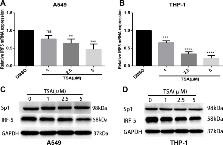 TSA inhibits mRNA and protein expression levels of IRF5 A549 ( A ) and THP-1 ( B ) cells were treated with TSA (0, 1, 2.5, or 5 μM) or 0.1% DMSO (control). IRF5 mRNA expression was detected after 24 h by using qRT-PCR (** p