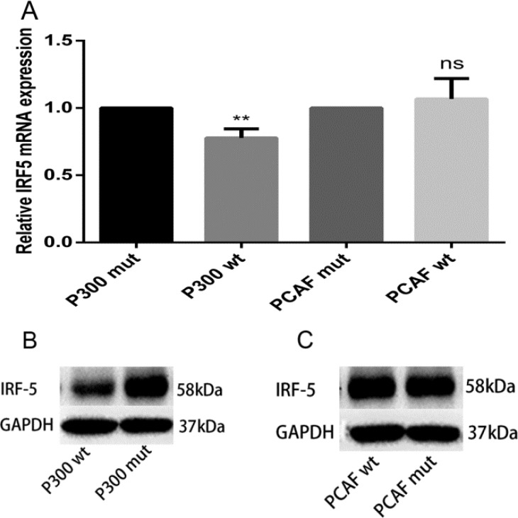 p300 inhibits mRNA and protein expression levels of IRF5 ( A ) A549 cells were transfected with 1 μg p300 wt plasmid, p300 mut plasmid, PCAF wt plasmid, and PCAF mut plasmid; IRF5 mRNA expression was detected after 24 h by qRT-PCR (** p