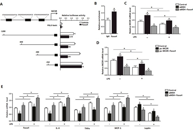 Foxo4 negatively regulate MC5R transcription in αMSH inhibited inflammation in mice adipocytes (A) Fragments of MC5R promoter fused to a luciferase reporter plasmid or PGL3-basic (control) were co-transfected into cells together with Renlilla plasmid and pAd-Foxo4 (n=3). Luciferase activity was corrected for Renilla luciferase activity and normalized to control activity (n=3). (B) Chromatin immunoprecipitation (ChIP) analysis of Foxo4 and MC5R interaction. (C, D) After pAd-Foxo4 together with αMSH or pc-MC5R in LPS/saline treatment, MC5R mRNA level was determined in adipocytes (n=3). (E) When adipocytes were treated with pAd-Foxo4 and αMSH in LPS/saline treatment, mRNA levels of Foxo4 , IL-6 , TNFα , MCP-1 and Leptin were analyzed (n=3). Values are means ± SD. vs. control group, * P