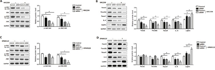 Akt/JNK signal pathway is impaired in the inhibition of αMSH on adipocyte inflammation and FoxOs expressions Mouse adipocytes were pretreated with αMSH and MK-2206 or SP600125, respectively. Relative protein levels of Akt, p-Akt ser473 , JNK, p-JNK Thr183 (A) , Foxo1, Foxo3a, Foxo4, IL-6 and Leptin (B) with or without MK-2206 (n=3). Representative immunoblots and densitometric quantification for Akt, p-Akt ser473 , JNK, p-JNK Thr183 (C) , Foxo1, Foxo3a, Foxo4, IL-6 and Leptin protein (D) with or without SP600125 (n=3). The level of total GAPDH was used as the loading control. Values are mean ± SD. * P