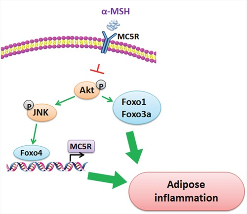 Proposed mechanism of the inhibition of αMSH on adipose inflammation αMSH decreases adipose inflammation via blunting the phosphorylation of Akt/JNK. Akt phosphorylation activates Foxo1 and Foxo3a, while JNK phosphorylation activates Foxo4. What is more, Foxo4 acts via binding the promoter of MC5R, which is the receptor of αMSH.