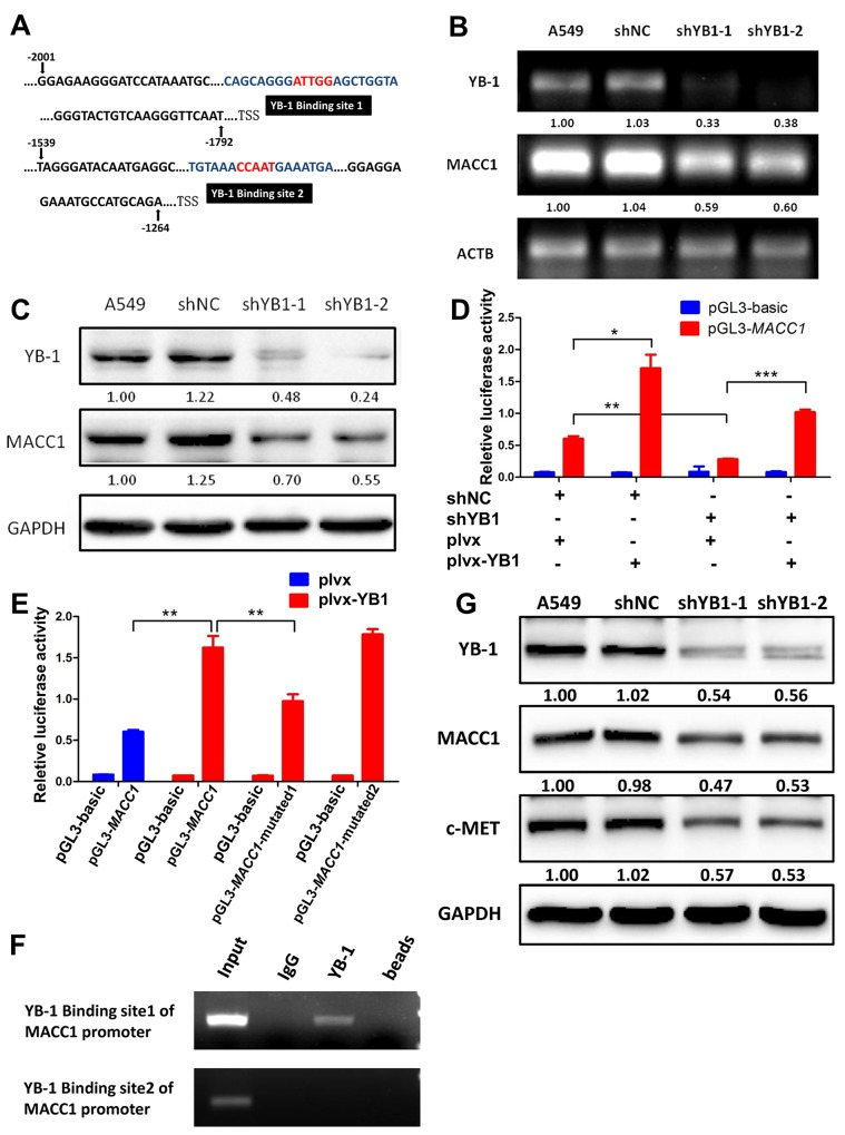YB-1 promotes MACC1 transcription by binding to MACC1 promoter and activates MACC1/c-Met pathway (A) Analysis of the MACC1 promoter indicated two putative YB-1 binding sites where the black boxes indicate sequences. RT-PCR analysis (B) and western blot analysis (C) determined the expression of YB-1 and MACC1 after inhibition of YB-1 in A549 cells. (D) MACC1 promoter (-2020 to +262) activity was analyzed by dual-luciferase reporter assay. The YB-1-silenced A549 cells and their corresponding control cells were co-transfected with plvx control plasmid or plvx-YB1 plasmid and MACC1 promoter (-2020 to +262) or basic reporter along with pRL-TK for 24h. (E) Mutated MACC1 promoter plasmids were generated (pGL3- MACC1 -mutated1; pGL3- MACC1 -mutated2). YB-1 binding sites in these two plasmids were mutated at two base pairs (pGL3- MACC1 -mutated1: -1860 to -1856; pGL3- MACC1 -mutated2: -1468 to -1464). A549 cells were transiently co-transfected with plvx vector plasmid or plvx-YB1 plasmid and the pGL3-basic reporter, the wild type MACC1 promoter reporter (pGL3- MACC1 ) or the mutated MACC1 promoter plasmids (pGL3-MACC1-mutated1; pGL3-MACC1-mutated2) along with pRL-TK for 24h. Transfected cells were harvested for dual-luciferase reporter assay. (F) ChIP assay was performed with YB-1 antibody or non-immune IgG as negative control. Immunoprecipitated DNA was amplified by PCR using primers as indicated. (G) Western blot analysis of YB-1, MACC1 and c-Met expression after inhibition of YB-1 in A549 cell. * P