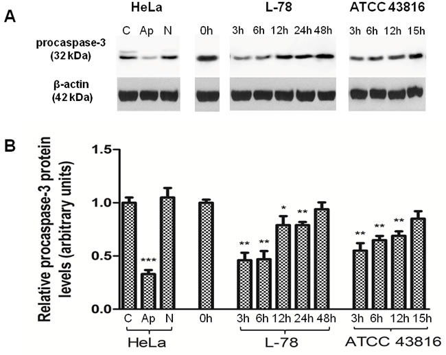 <t>Procaspase-3</t> levels decreased early after L-78 infection in murine spleen lysates A . Total protein extracts of pooled splenocytes from L-78- and ATCC 43816-infected mice were immunoblotted against procaspase-3. Apoptotic and necrotic HeLa cells were used as controls. β-Actin was used as a loading control. All samples were run on and cut from the same gel. B . Densitometric analysis of procaspase-3. Data are means ± SD from three independent experiments. C, HeLa cells incubated in medium; Ap, apoptotic HeLa cells; N, necrotic HeLa cells. *, p