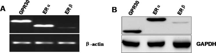 Expression of estrogen receptors at mRNA and protein levels in the mouse GC-2 cells ( A ) ERα, ERβ and GPR30 mRNA expression in GC-2 cells was analyzed by real-time PCR. The PCR products were resolved on 1% agarose gel electrophoresis and visualized by ethidium bromide staining. β-actin was used as control gene. ( B ) Western blot analysis of ERs was performed on 30 μg of total proteins extracted from GC-2 cells. Specific antibody for ERα, ERβ and GPR30 are representative of three independent experiments with similar results. GAPDH was used as a loading control.