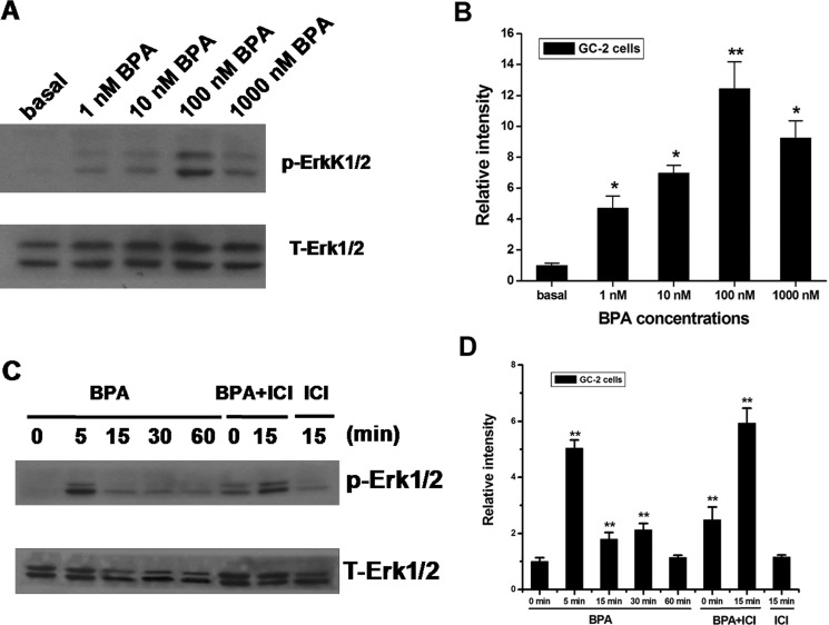 Effects of BPA on Erk1/2 activation in GC-2 cells ( A , B ) BPA-induced activation of Erk1/2. Cells were treated for 30 min with the indicated concentrations of BPA, and the phosphorylation of Erk1/2 were examined by western blot. ( C , D ) Cells were treated for the indicated times with 100 nM of BPA. For the treatment with an estrogen antagonist, cells were pretreated with 10 μM ICI for 30 min and then treated with 100 nM BPA for 5 or 15 min. Western blot analyses of the amounts of phospho-Erk1/2 (p-Erk1/2) and total Erk1/2 (T-Erk1/2) were performed on 50 μg of total proteins extracted from GC-2 cells untreated (basal) or treated as indicated. Blots are representative of three independent experiments with similar results. ** P