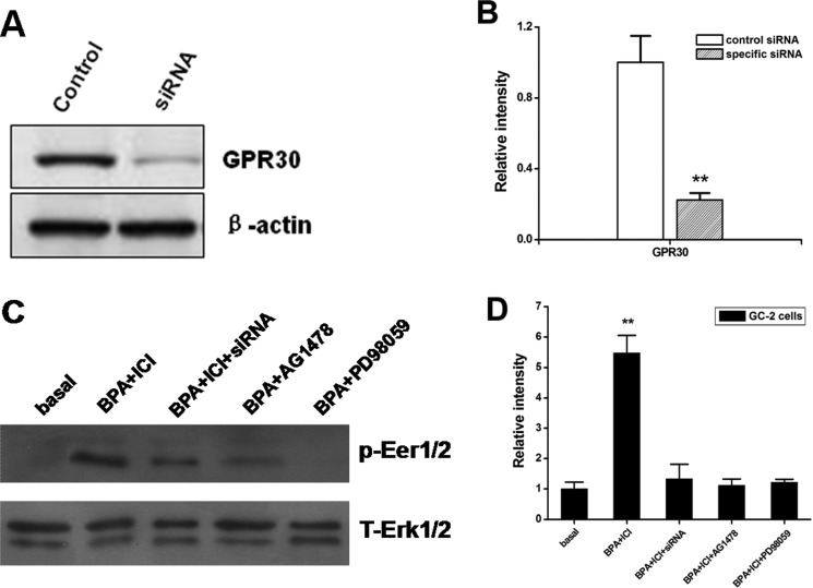 The expression of activated Erk1/2 in GC-2 cells performed by different ways ( A , B ) Expression of GPR30 in GC-2 cells transfected with specific siRNA. GC-2 cells were transfected with 100 nM siRNA against GPR30, non-targeting (control siRNA) siRNA as indicated. At 48 h post transfection, protein was extracted and subjected to a Western blot analysis for GPR30. The levels of b-actin protein were used as loading control. Results are representative of three independent experiments. ( C , D ) Blocking of Erk1/2 signaling with PD, AG and siRNA against Gpr30 . Cells were pretreated with 10 μM of ICI, or10 μM PD+ICI or 10 μM AG+ICI for 30 min or Gpr30 siRNA for 48 h, and then treated with 0.1 μM BPA for 15 min. The activation of Erk1/2 was examined as shown in Figure 4 . D. The figure of Western blot is a representative of three independent experiments. The density of the band for p-Erk1/2 was normalized with that of total Erk1/2 and the value is shown in the graph (right). ** P