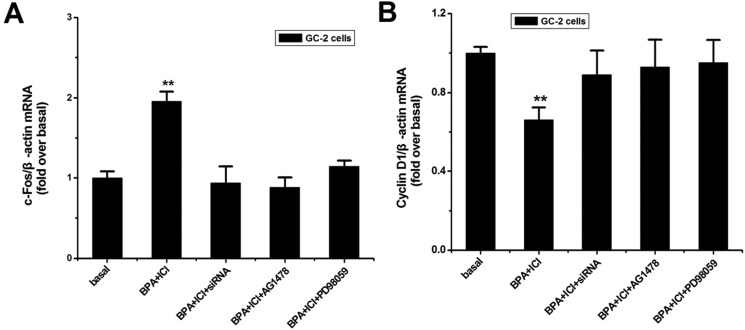 Effects of BPA on the downstream relative genes expression ( A , B ) GC-2 cells were treated as described above, Total RNA was extracted for qPCR. c-Fos a nd Cyclin D1 mRNA expression levels were evaluated following normalization to β-actin level. The values represent the mean ± SD of the data from three independent experiments. ** P