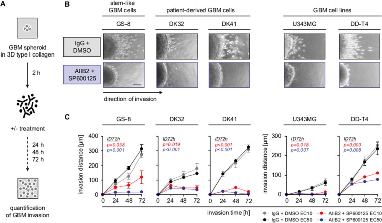 Combined β1 integrin/JNK targeting blocks GBM cell invasion ( A ) Work flow of 3D invasion assays. ( B ) Representative images of indicated GBM cells invading into 3D type I collagen 72 h after treatment with AIIB2/SP600125 (EC50) or control IgG/DMSO. Scale bar, 50 μm. ( C ) Invasion distance of indicated treated GBM cell populations. Results are mean +/− SEM ( n = 3, t -test).