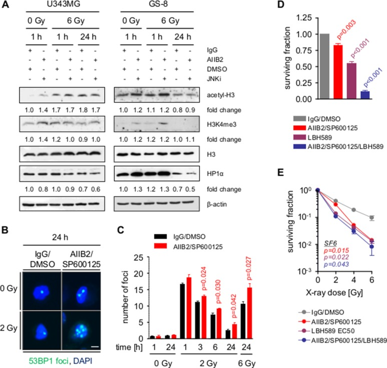 Block of β1 integrin and JNK signaling enhances radiation induced DSB by chromatin modification ( A ) Western blot analysis of indicated proteins from whole cell lysates of U343MG and GS-8 cells treated with AIIB2/SP600125 (EC10) or control <t>IgG/DMSO</t> without and with X-ray irradiation (6 Gy). Fold changes are calculated by normalization to β-actin and IgG/DMSO controls according to representative blots. ( B ) Immunofluorescence analysis of nuclei with 53BP1-positive foci after indicated treatments. Scale bar, 10 μm. ( C ) Quantification of the number of DSB per cell at the indicated time points after treatment with AIIB2/SP600125 (EC10) or control IgG/DMSO without and with X-ray irradiation. ( D ) Basal surviving fraction of U343MG cells upon treatment with AIIB2/SP600125 (EC10), LBH589 (EC50) or a combination thereof compared to control treatment (IgG/DMSO). ( E ) Clonogenic radiation survival of U343MG cells treated as described in (H). (C–E) Results are mean +/− SEM ( n = 3, t -test).