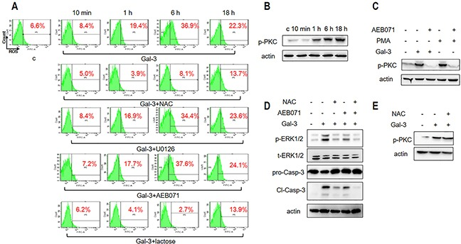 ROS and PKC activation is necessary for Gal-3-induced apoptosis (A) Jurkat cells were incubated with Gal-3 for 10 min, 1 h, 6 h and 18 h in the absence or presence of NAC, U0126, AEB071, or lactose and analyzed by flow cytometry for ROS as described in the Materials and Methods. (B) Jurkat cells were treated with Gal-3 for 10 min, 1 h, 6 h and 18 h and analyzed for p-PKC by western blotting. (C) Jurkat cells were incubated with Gal-3 or PMA in the absence or presence of AEB071 for 18 h and analyzed for p-PKC by western blotting. (D) Jurkat cells were treated with Gal-3 for 18 h in the absence or presence of AEB071 and NAC and were analyzed for p-ERK and cleaved caspase-3. (E) Jurkat cells were incubated with Gal-3 in the absence or presence of NAC for 18 h. p-PKC was analyzed by western blotting. The data are representative of three independent experiments.