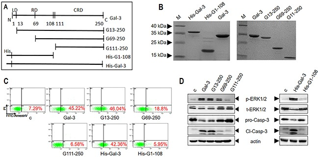 Characterization of apoptotic signaling efficiency of truncated variants of Gal-3 (A) Schematic details of Gal-3 and its variants. (B) SDS-PAGE analysis of Gal-3 and its variants. (C-D) Jurkat cells were treated with 2.5 μM Gal-3 or its variants for 18 h and (C) cellular <t>apoptosis</t> was assessed by flow cytometry and (D) signaling was assessed by western blot analysis of p-ERK1/2 and cleaved caspase-3.